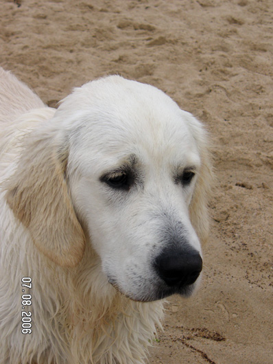 Index of /golden-retriever/BB de Zoe et Seal